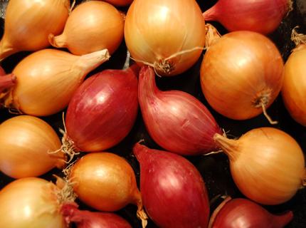growing-onions