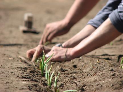 plantin-onion-set