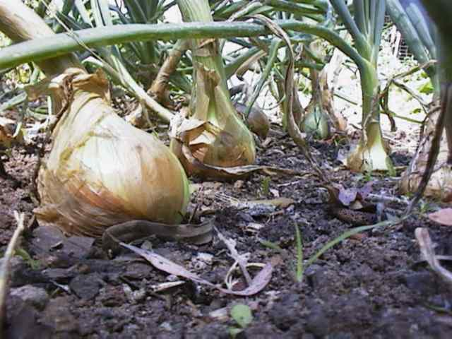 planting-onions